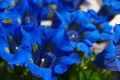 Venti fiori nel vento. Tutti blu